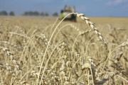 Россия затоварилась зерном