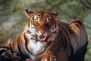 """""""Азиатский тигр"""" готовится к прыжку"""