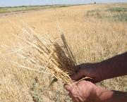 Зерно: помощь только нуждающимся