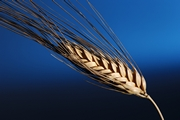 Зерно кризиса