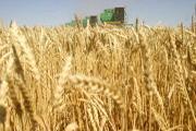Слишком много пшеницы?
