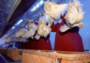Мясо птицы высокого полета