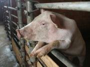 Свинина из Германии рылом не вышла